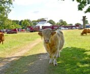 Highland Cattle on Minchinhampton Common in front of Giffords Circus